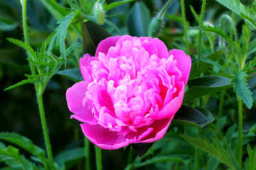 Bellissima peonia №32656
