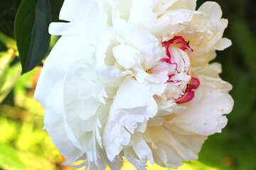 Bella foto di in gran parte bianca peonia №32647