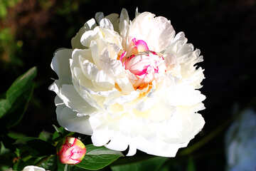 The flower Peony white beautiful picture №32649