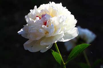 Fiore di peonia bianca №32653