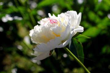 Fiore di peonia bianca №32655