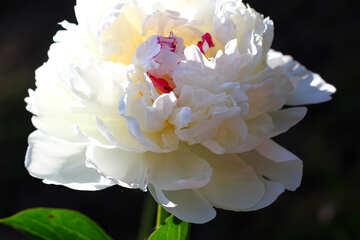 Grande fiore di peonia bianca №32654