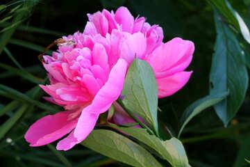 Grande fiore di peonia №32638