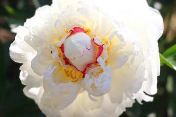 Grande fiore di peonia bianca №32666