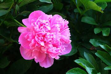 Peonia rosa №32659