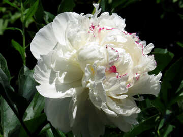 Peonia bianca №32633