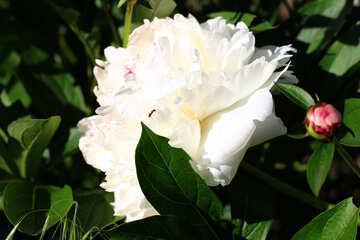 Peonia bianca №32644