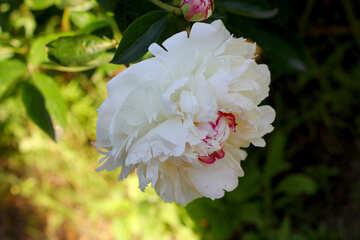 White Peony №32646
