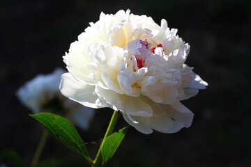 Peonia bianca №32652