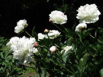 Cespugli di peonia bianca №32631