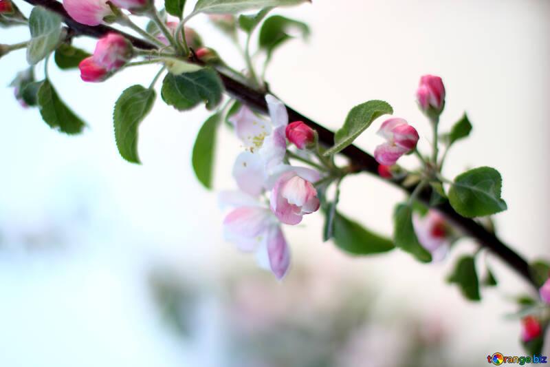 Una rama de Manzano floreciente №32430