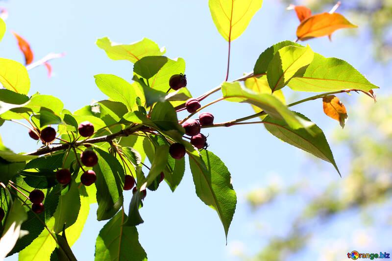 Wild variety of Apple tree №32983