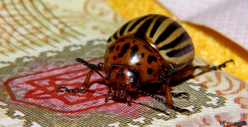 Colorado potato beetle on the coat of arms of Ukraine №32135