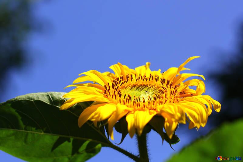 Hintergrund für Glückwünsche mit Sonnenblume №32682