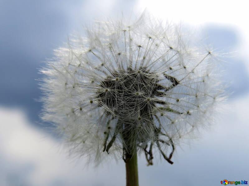 Dandelion against sky №32468