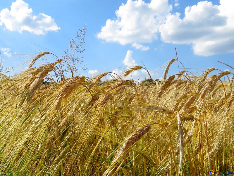 Обои на десктоп Украина ржаное поле с красивым небом №32554