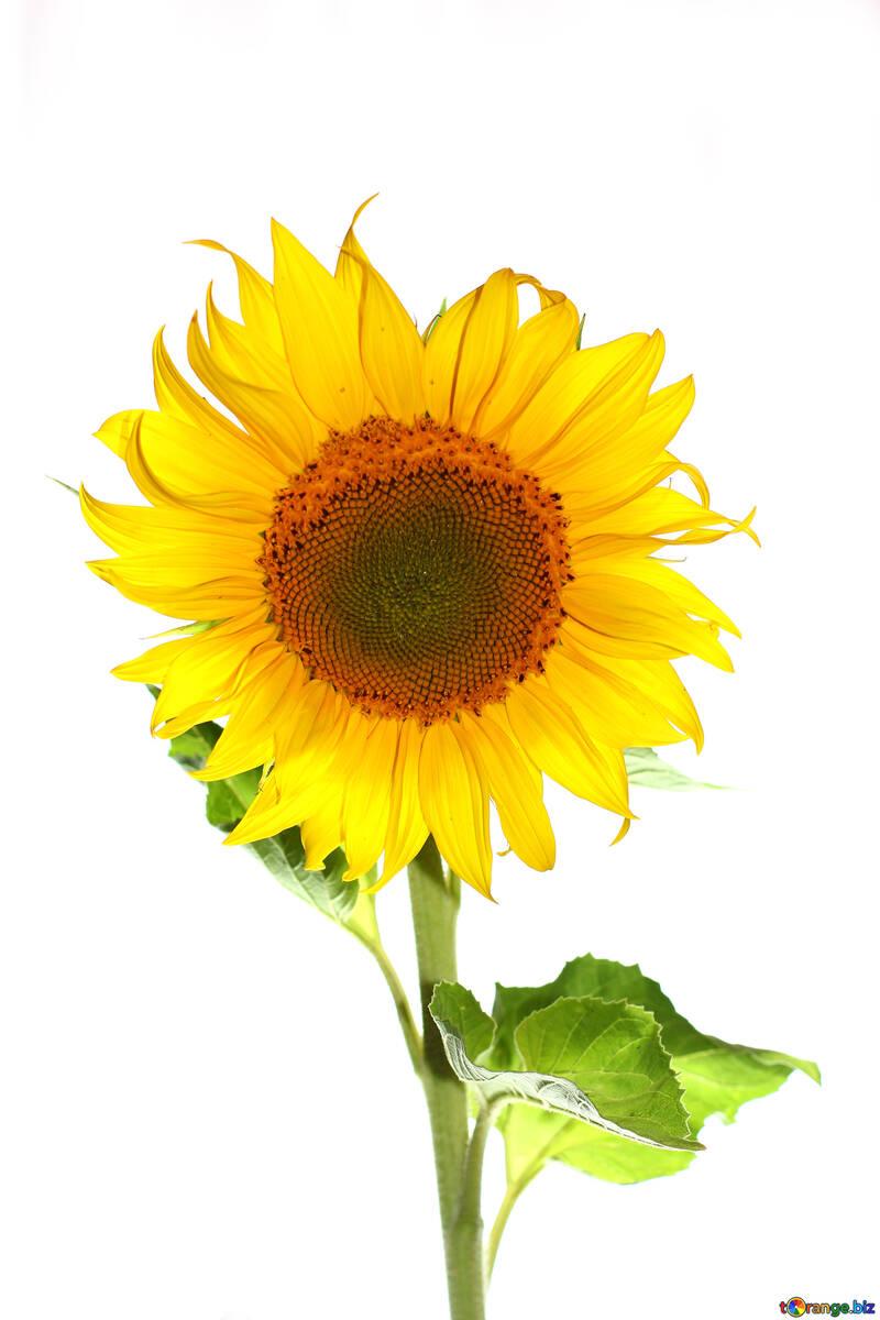 Flower sunflower isolated №32784