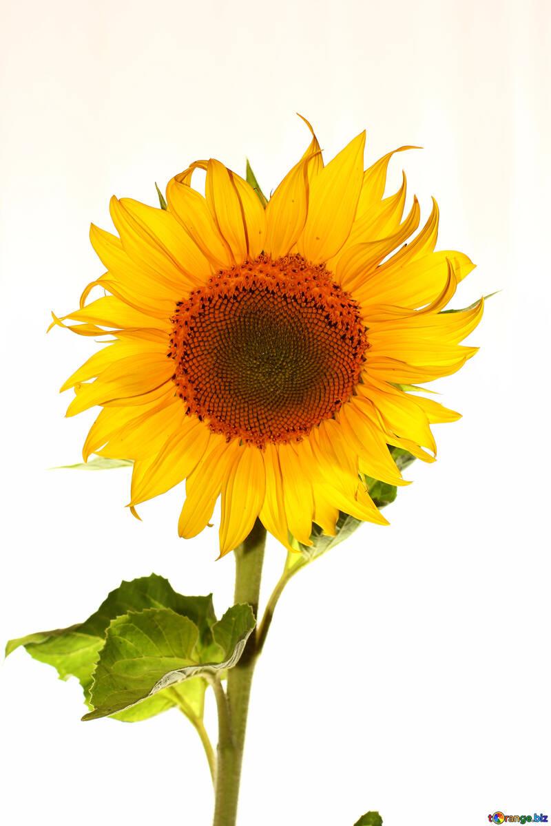 Flower yellow sunflower isolated №32781