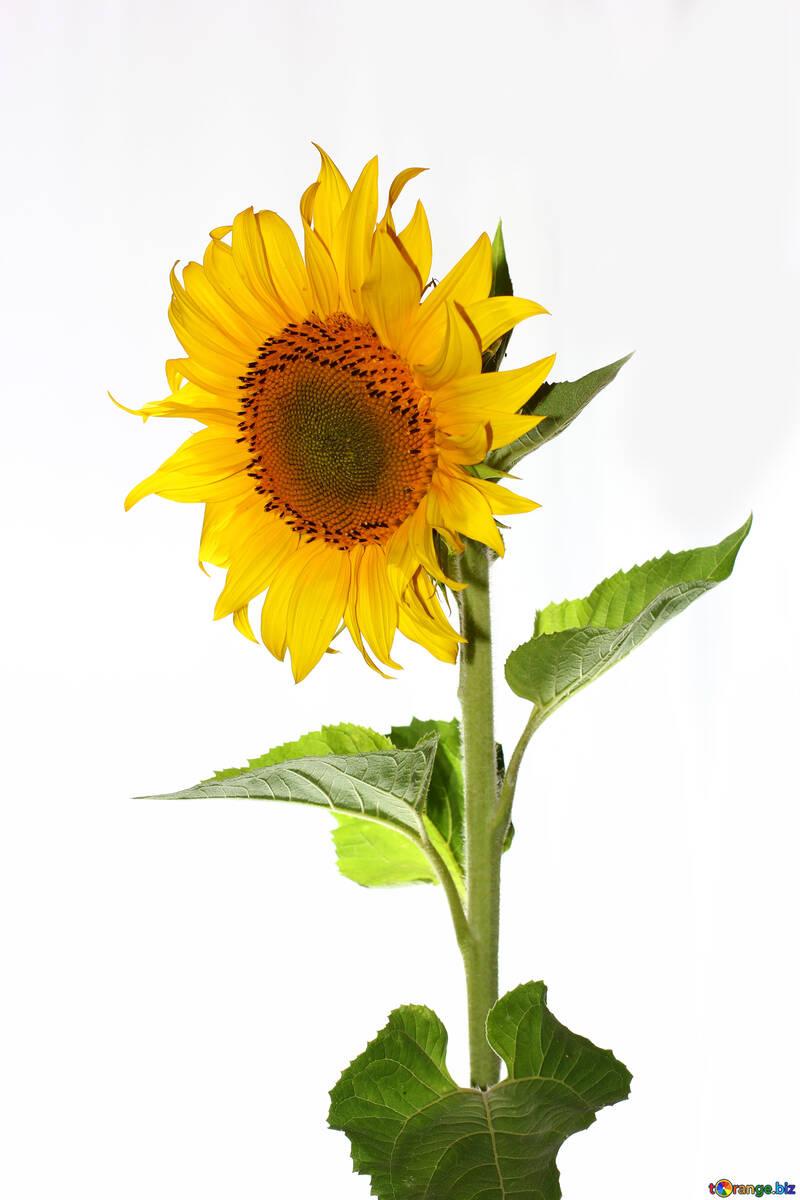 Sunflower isolated №32766