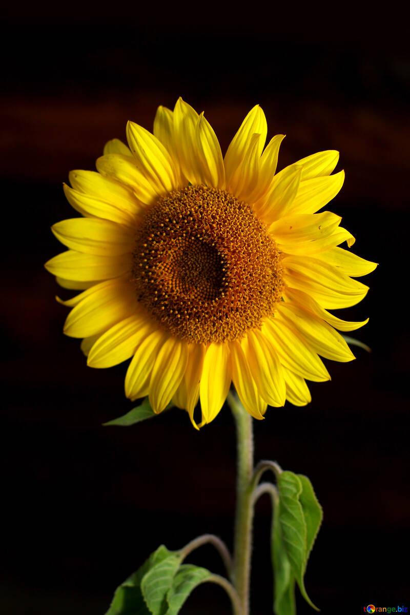 Sunflower flower isolated on black background №32798