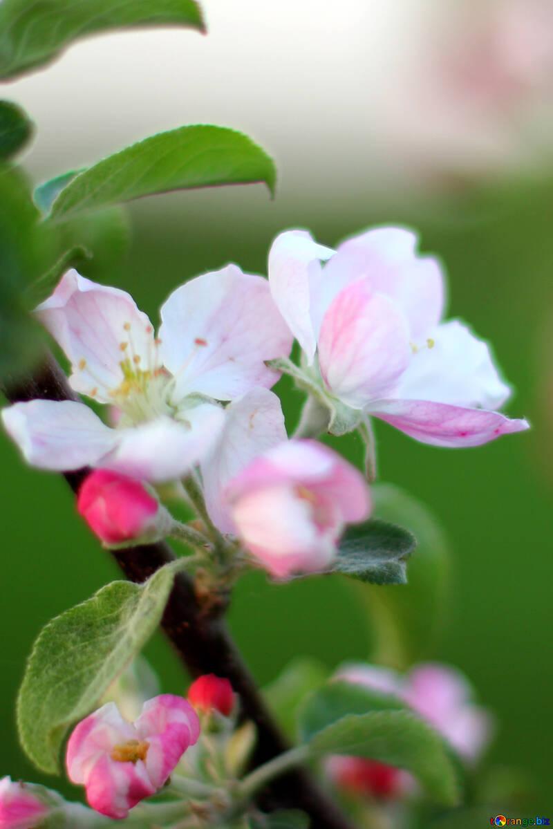 Macro flower Apple №32432