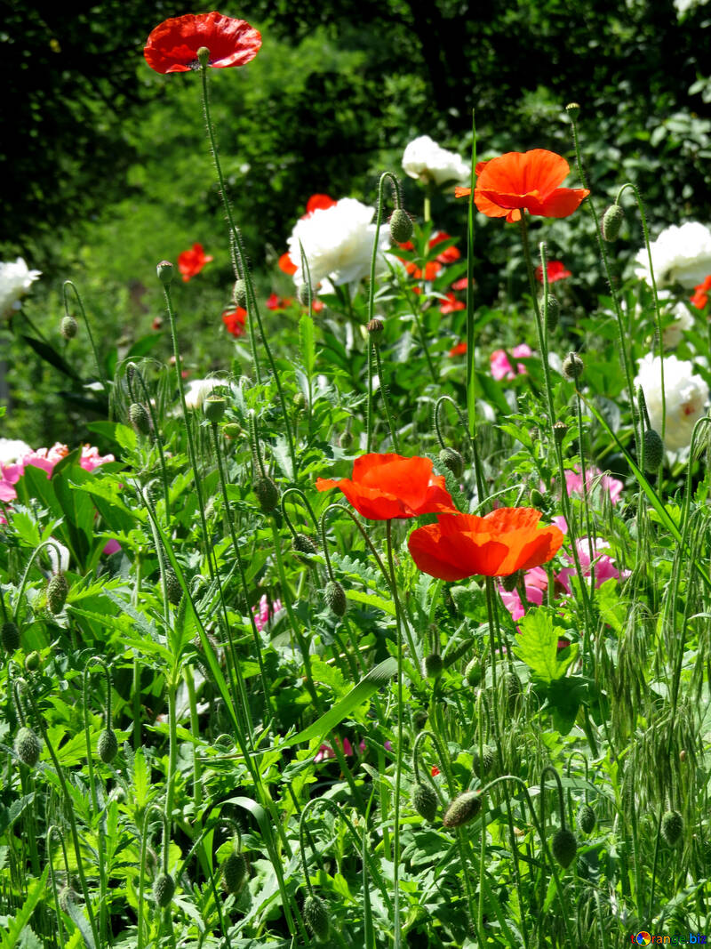 Peonies and poppies flowers №32635