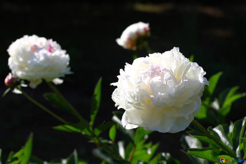 Flowers white peonies №32640
