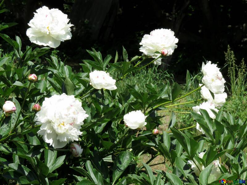 White peonies №32629