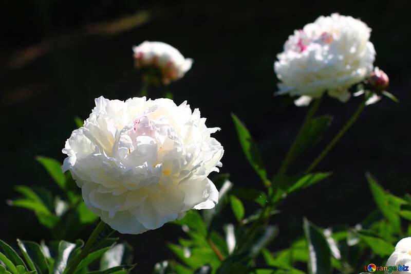 White peonies №32641