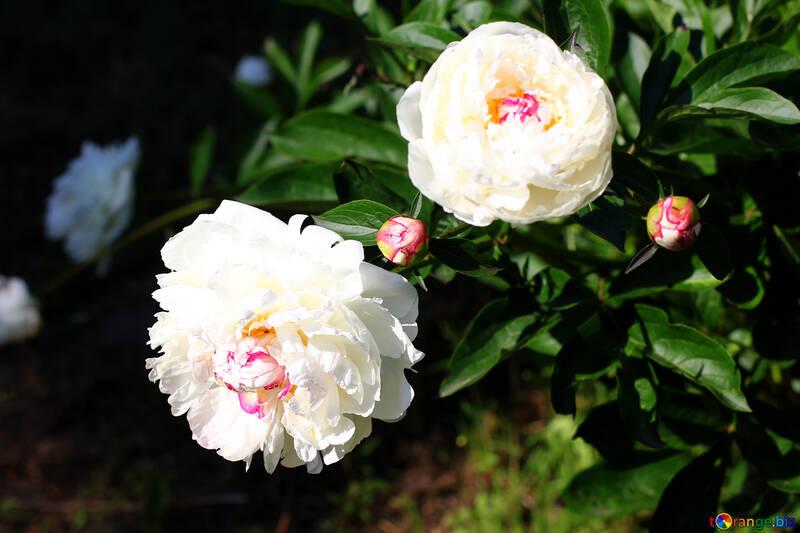 White peonies on Bush №32648