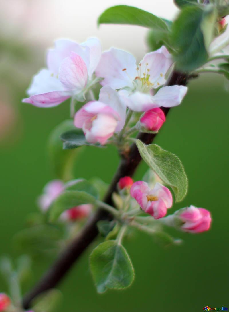 Фон цветы яблони  №32431