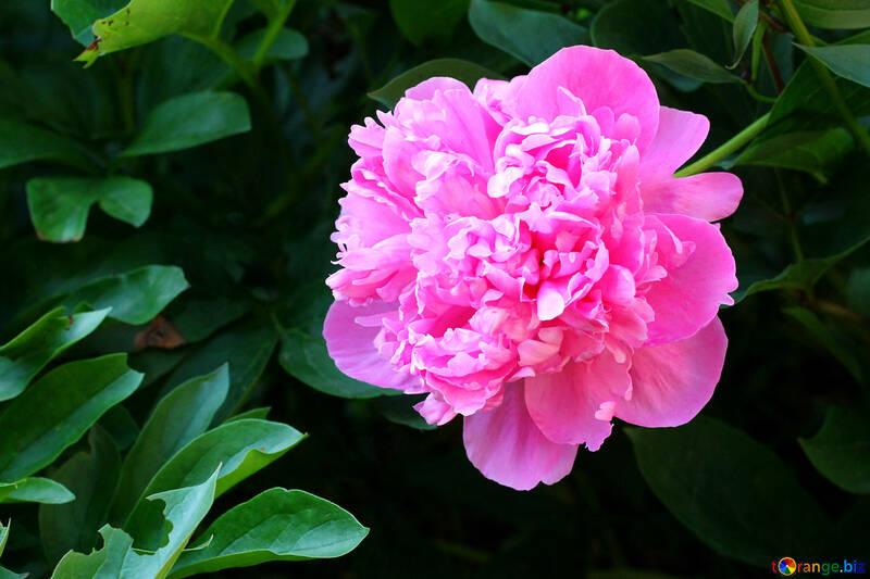Pink Peony №32658