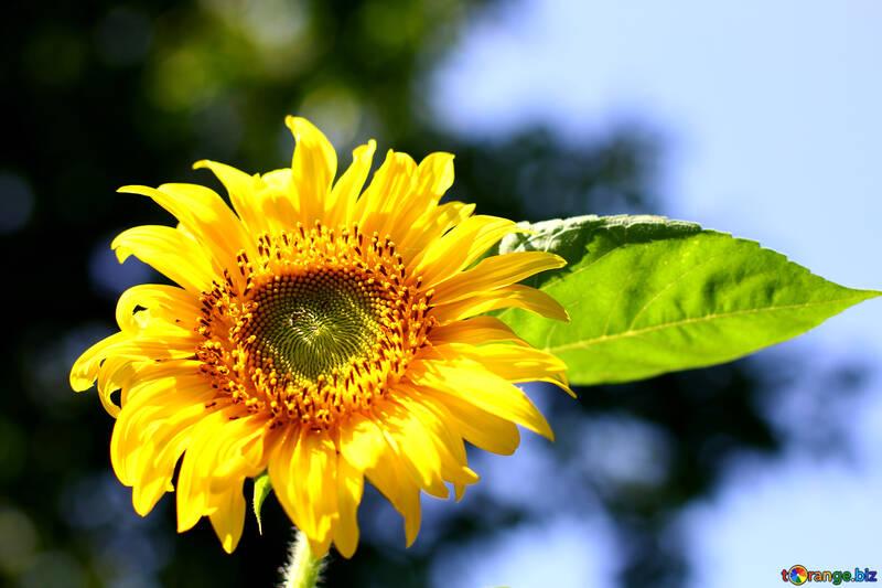 Flor de girasol №32687