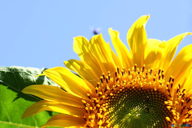 Fragmento de la flor del girasol №32678