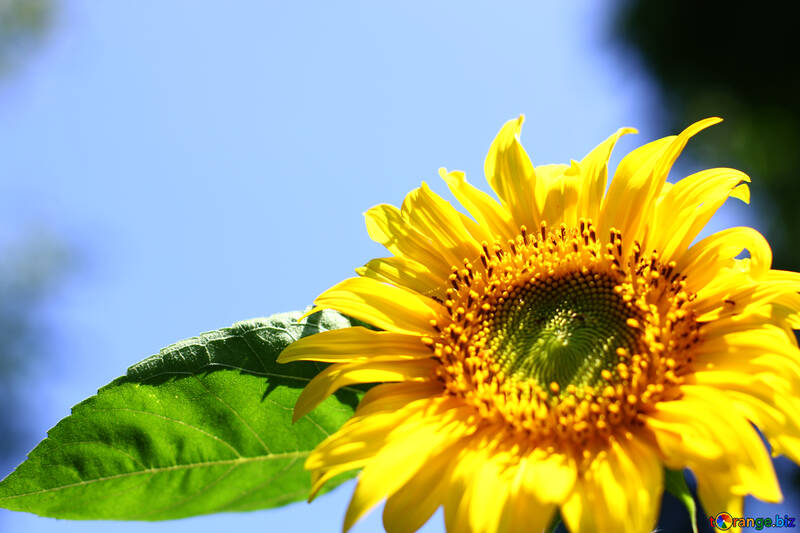 Sunflower desktop wallpapers №32684