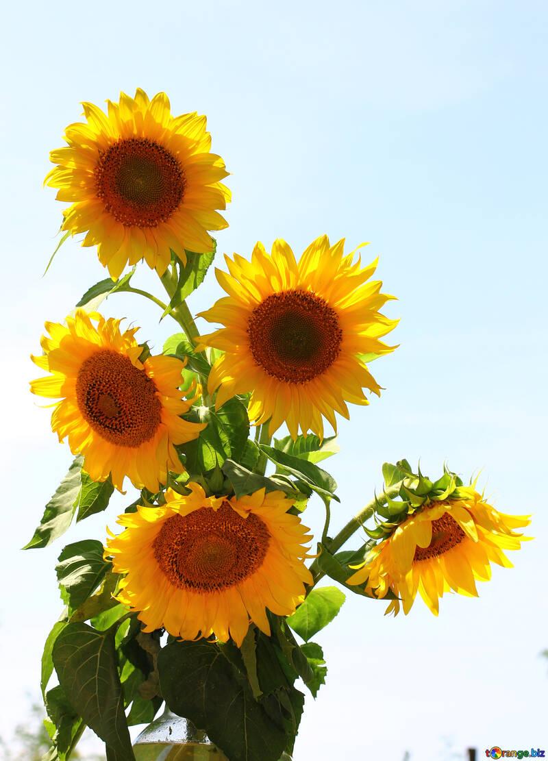 Ein Strauß Sonnenblumen auf weißem hintergrund isoliert №32697