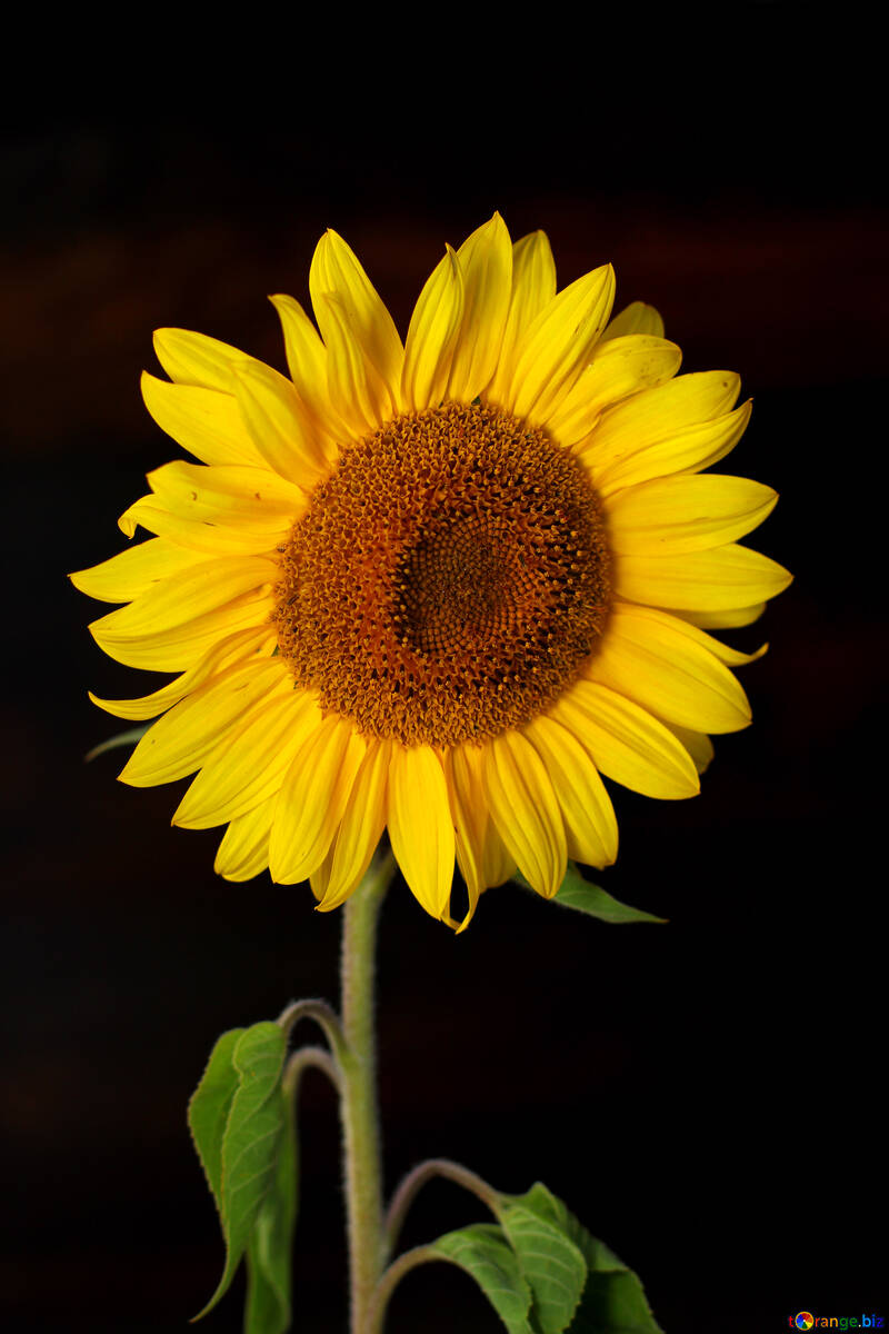 Sunflower flower on black background №32797