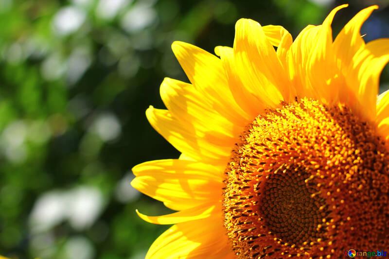 Sfondi fiori №32825