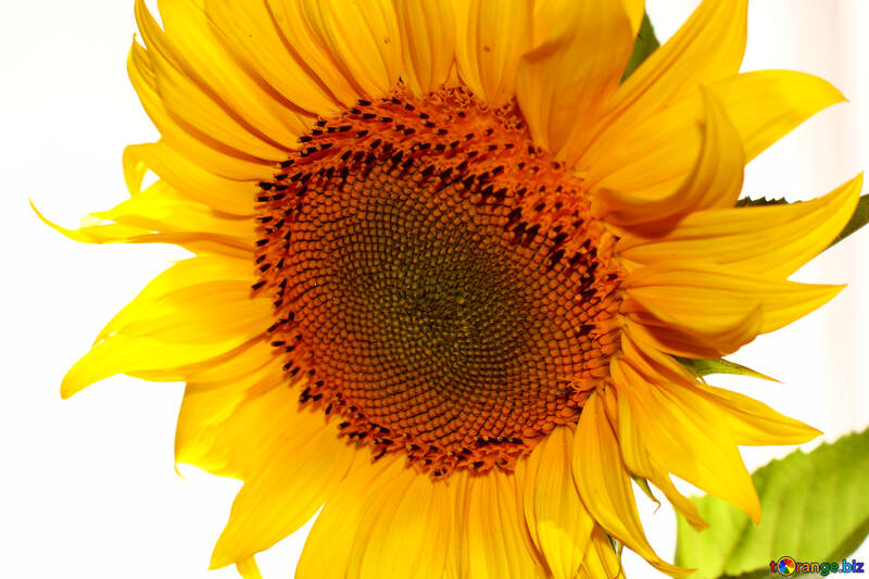 Large sunflower on white background №32764