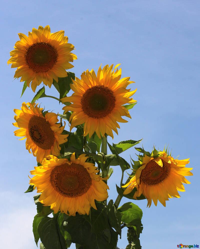 Sunflowers on blue background, isolated №32692