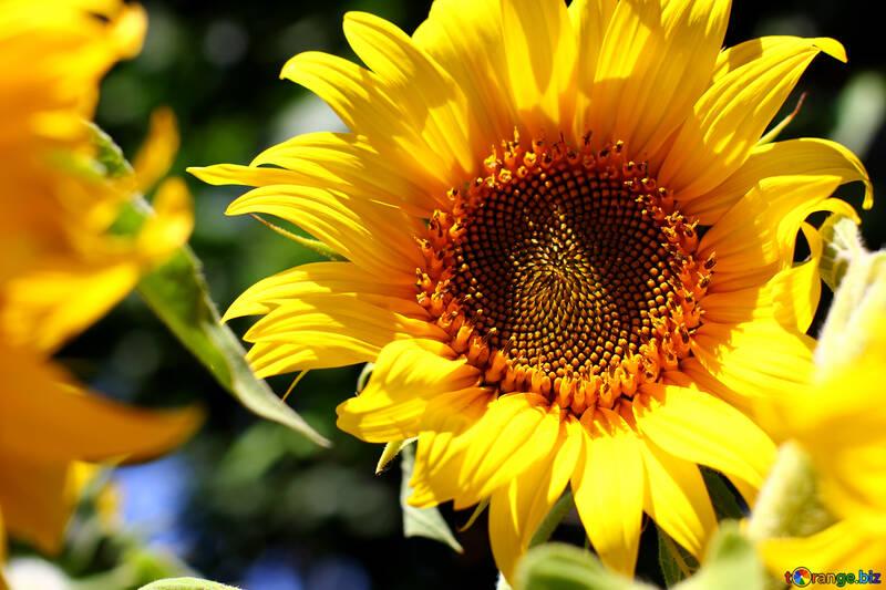Sunflower №32826