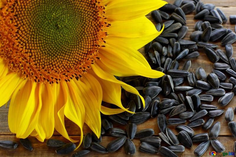 Oil seed sunflower №32750