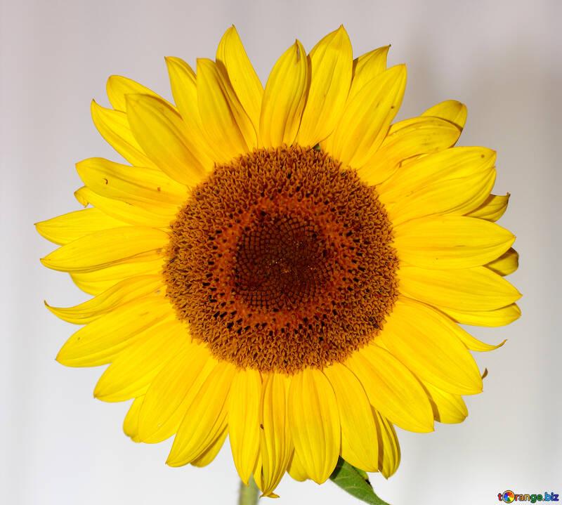 Sunflower flower №32796