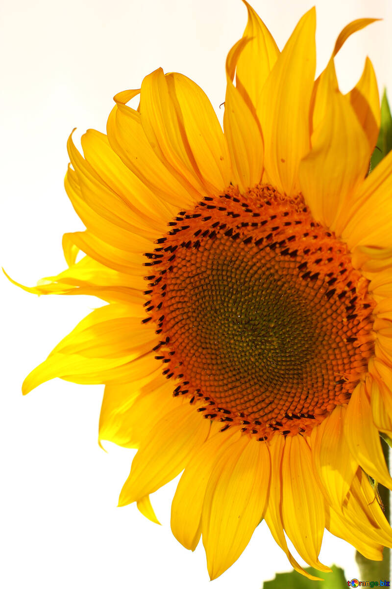 A large yellow flower №32762