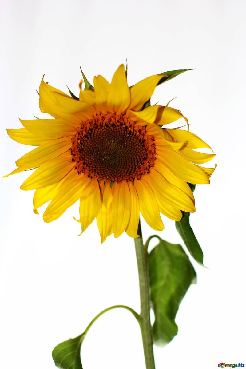 Sunflower flower on white background №32791