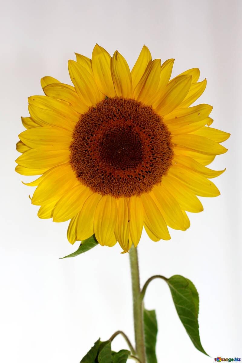 Sunflower flower on white background №32795