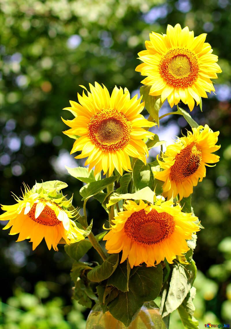 bouquet de tournesols bouquet de tournesols tournesol № 32701