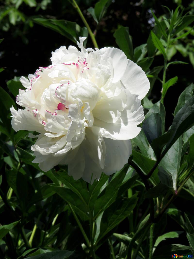 Beautiful flower White Peony №32632