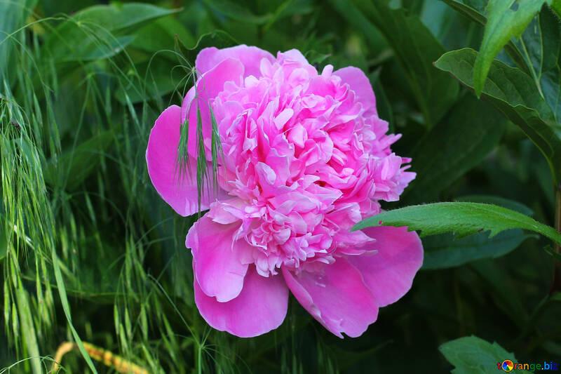 Beautiful Peony flower №32642