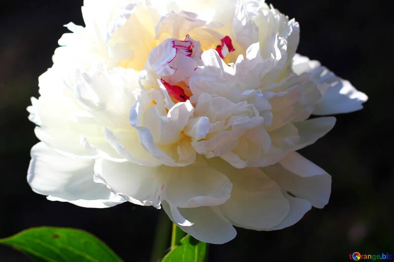 Large flower White Peony №32654